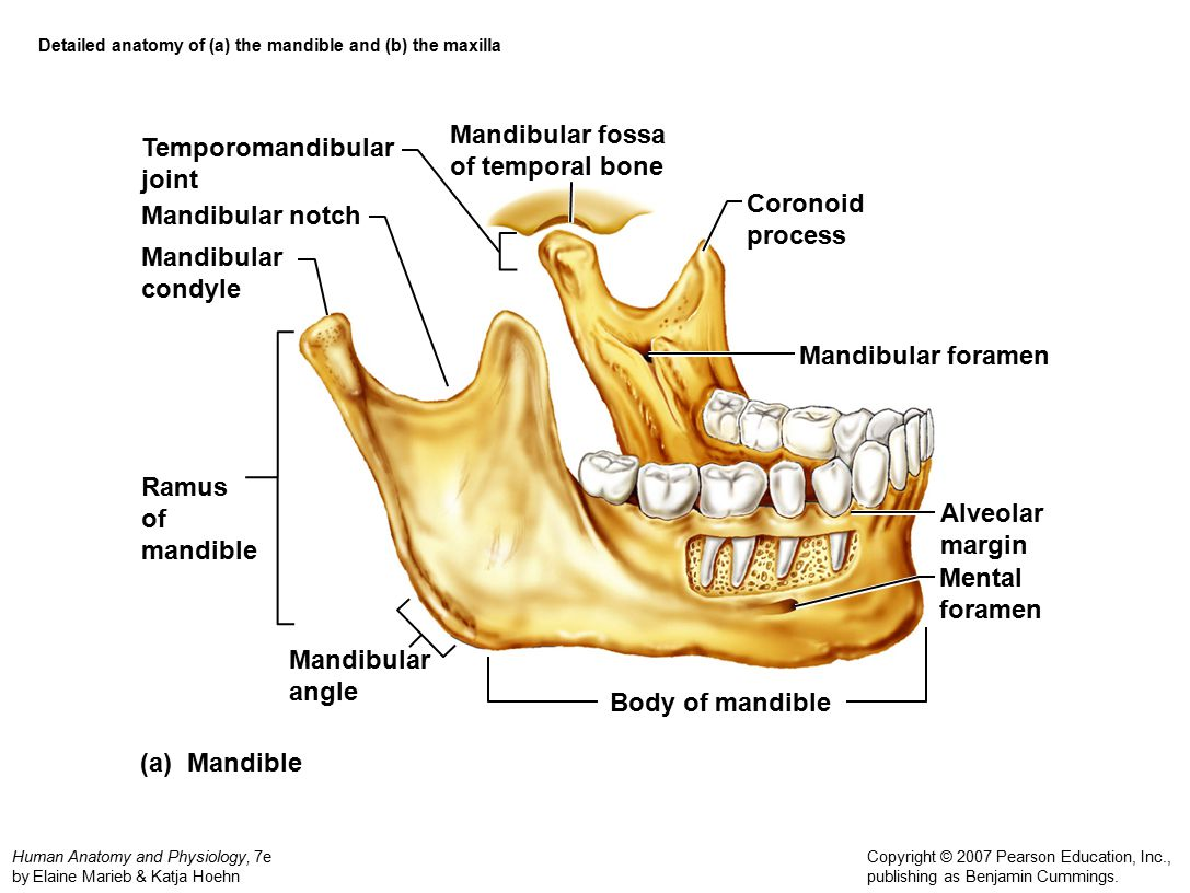 Anatomy of the mandible 1985897 - follow4more.info
