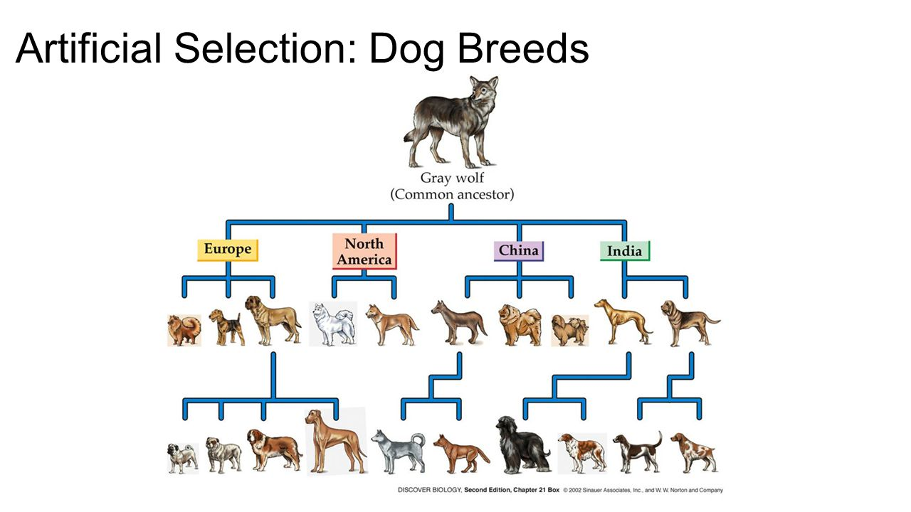 Is Dog Breeding Natural Selection