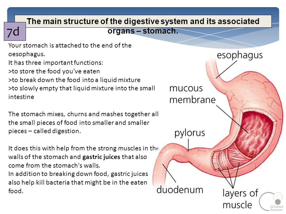 food and digestion junior science. - ppt download, Cephalic Vein