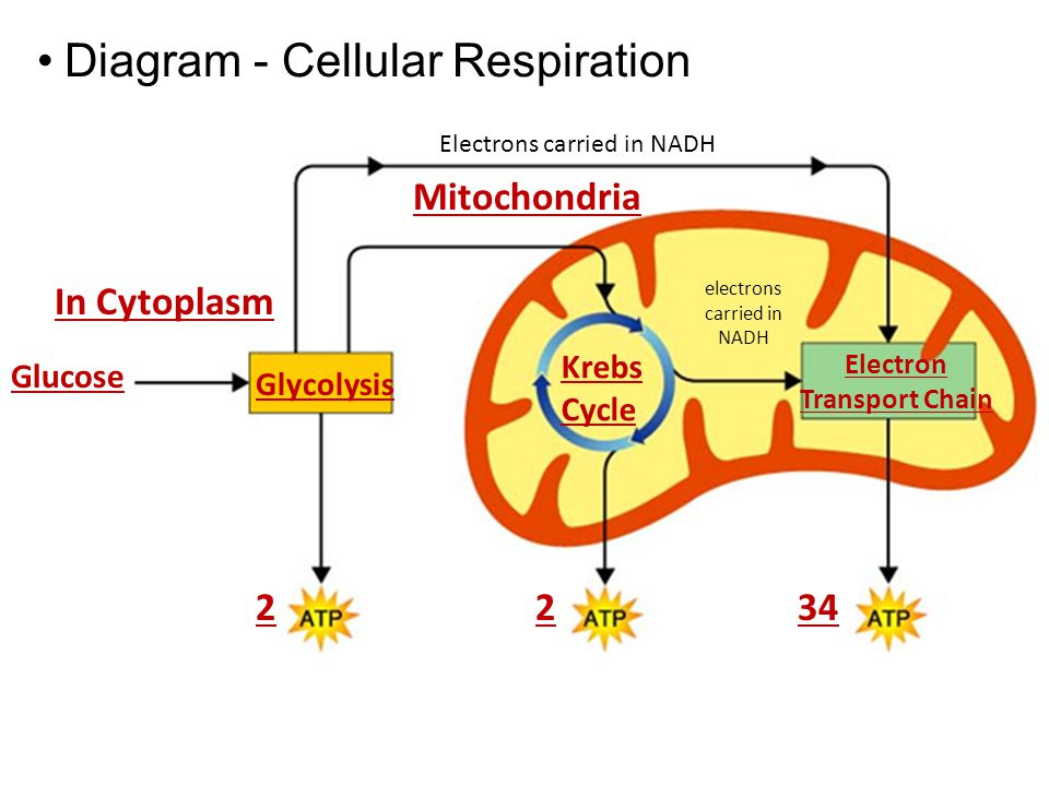 Photosynthesis respiration ppt download 27 electron transport chain diagram cellular respiration ccuart Choice Image
