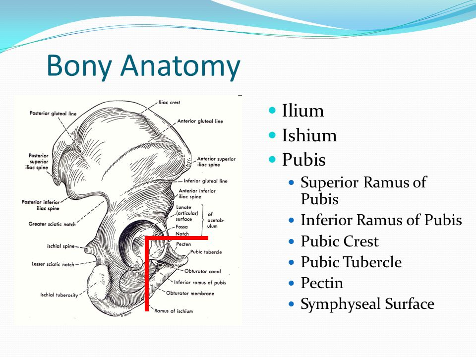 Pubic Tubercle Surface Anatomy 554675 Togelmayafo