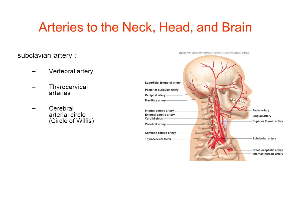 Arteries to the Neck, Head, and Brain