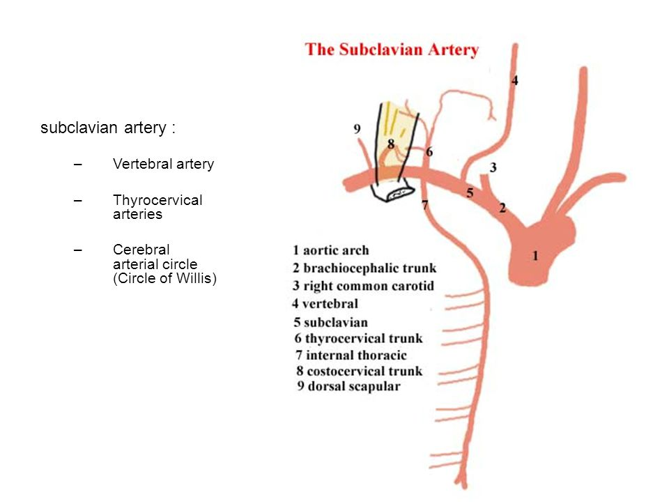 subclavian artery : Vertebral artery Thyrocervical arteries