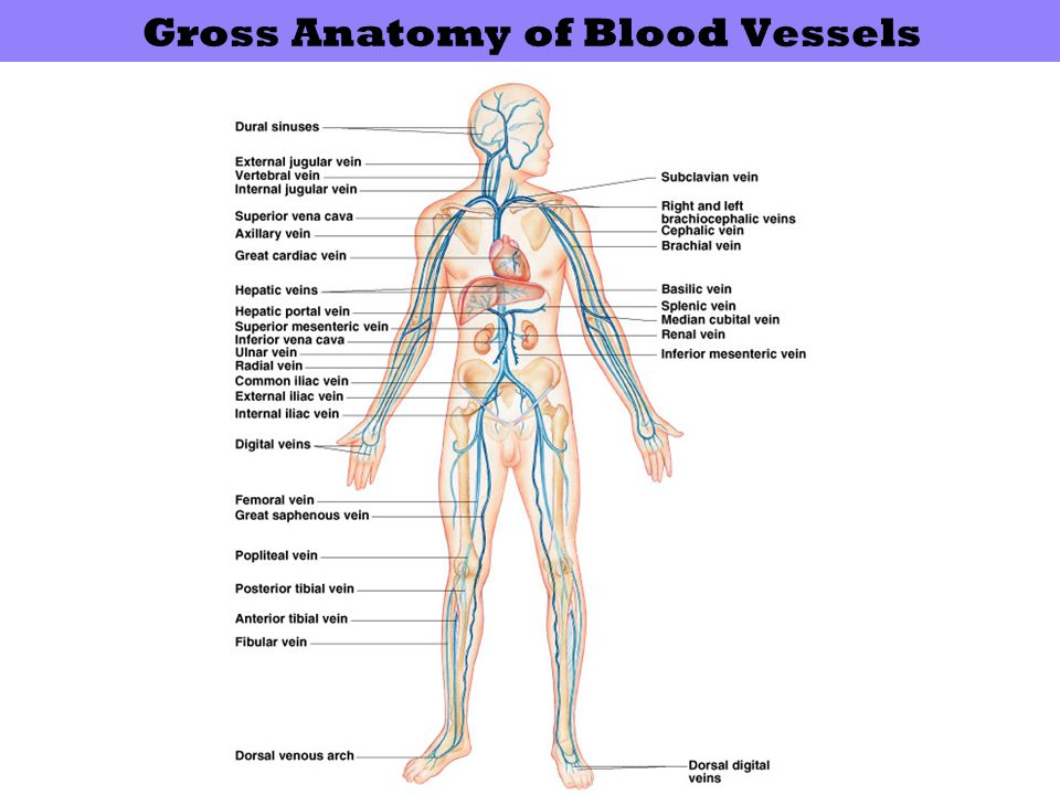 Gross Anatomy of Blood Vessels