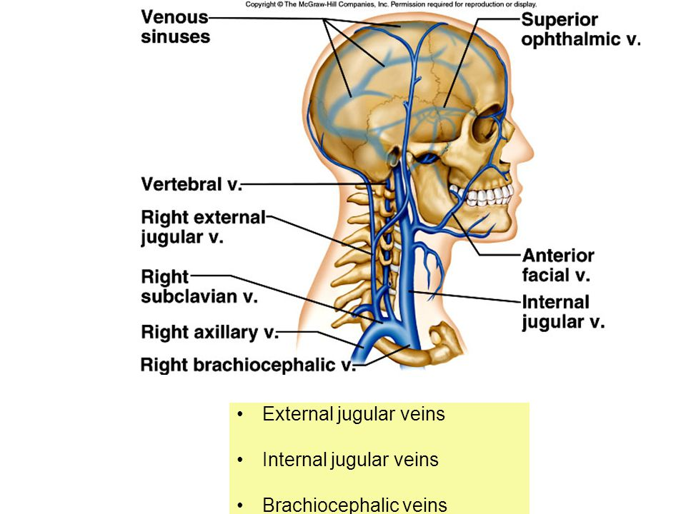 External jugular veins