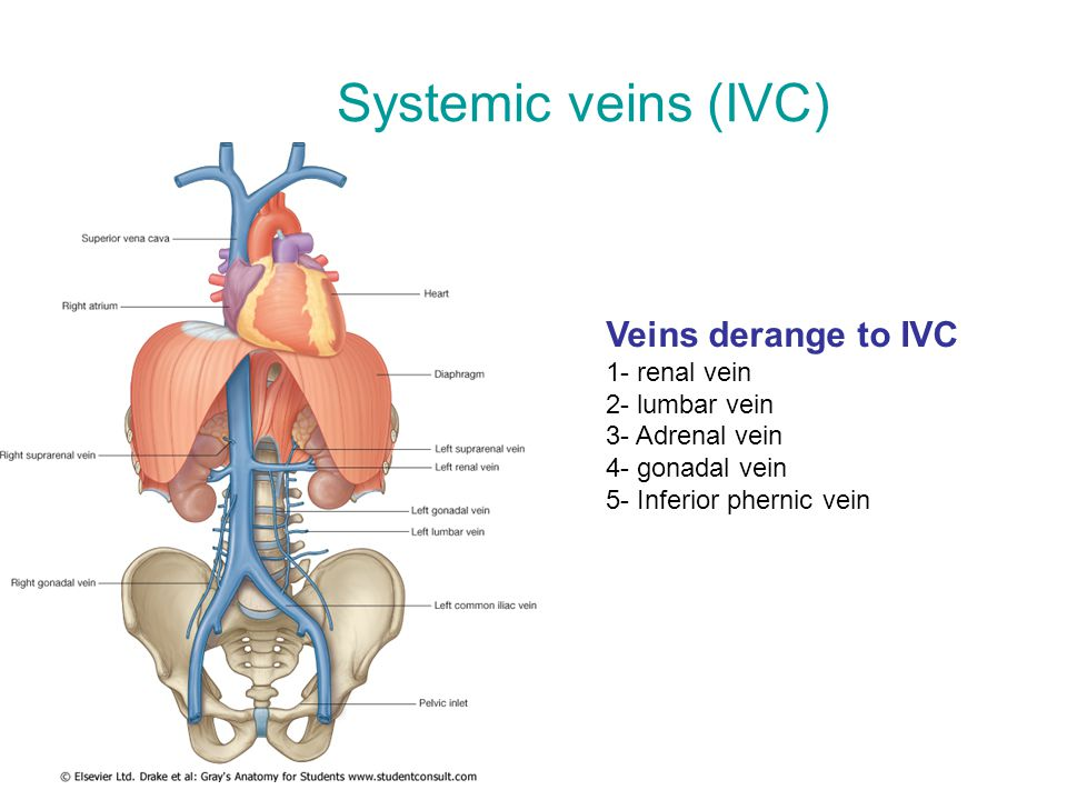 Systemic veins (IVC) Veins derange to IVC 1- renal vein 2- lumbar vein