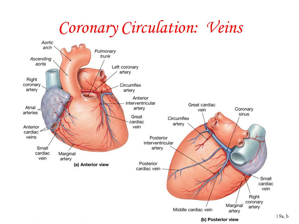 Coronary Circulation: Veins