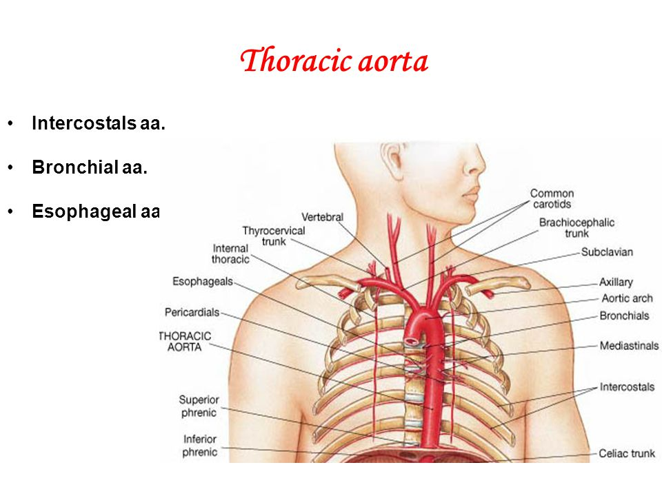 Thoracic aorta Intercostals aa. Bronchial aa. Esophageal aa.