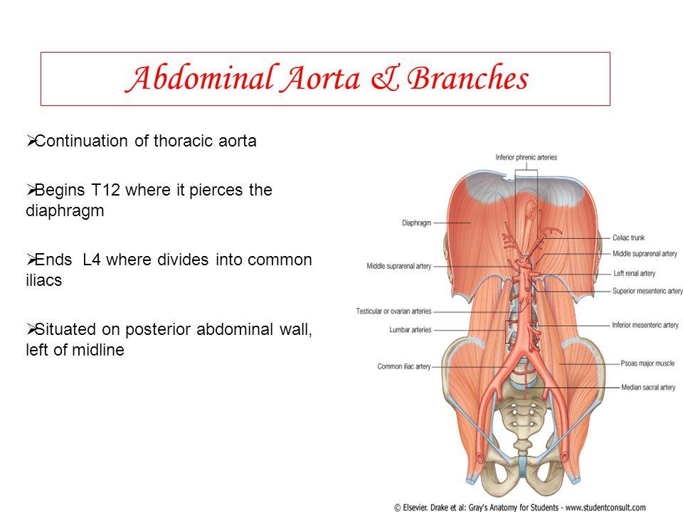 Ungewöhnlich Zweige Der Aorta Anatomie Bilder - Anatomie Ideen ...