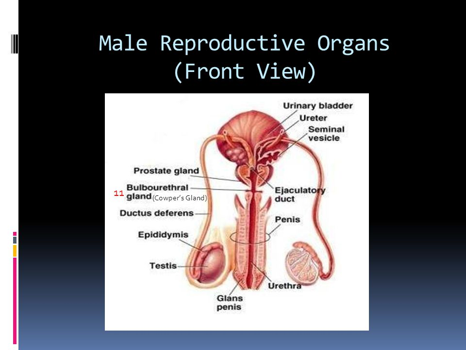 Male Reproductive Organs (Front View)