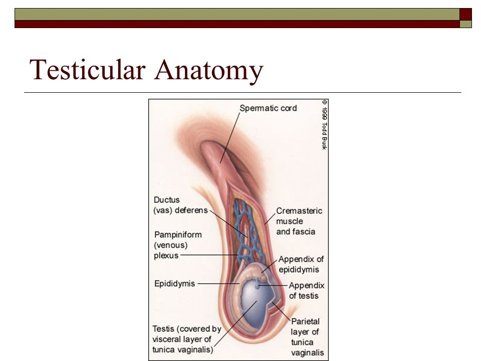 Evaluation of Testicular Disorders - ppt download