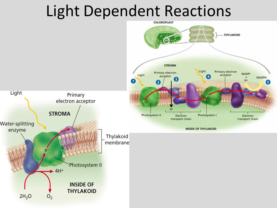 light dependent reactions essay ³explain how the light-independent reactions of photosynthesis rely on light-dependent reactions ´ light-independent reactions such as the calvin cycle require the.