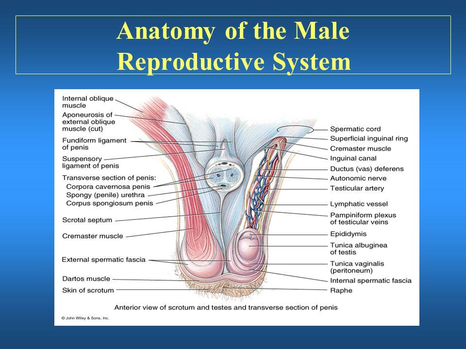 Old Fashioned Scrotum Anatomy Sketch - Anatomy Ideas - yunoki.info