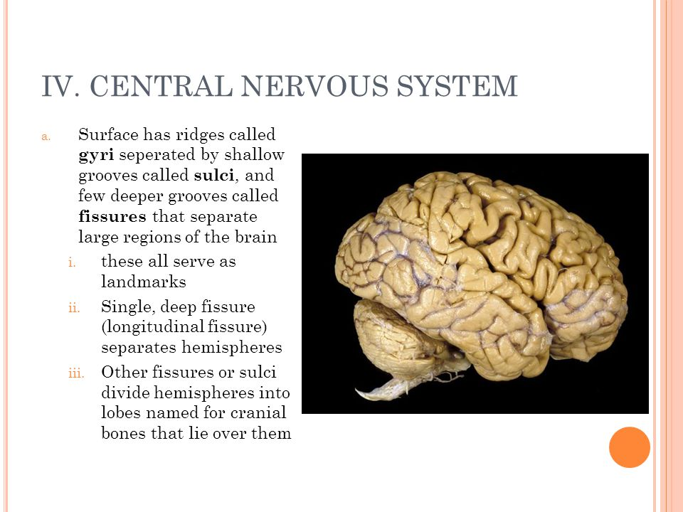 the central nervous system from superficial to deep essay The meninges refer to the membranous coverings of the brain and spinal cord, comprised of the dura, arachnoid and pia mater the dura mater is the most external.
