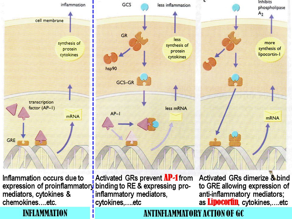 ANTINFLAMMATORY ACTION OF GC