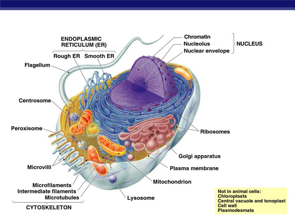 Chapter 7 the cell cytoskeleton ppt video online download 18 ccuart Gallery