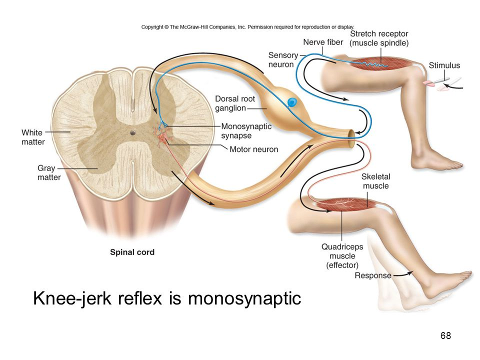 patellar reflex A reflex contraction of the quadriceps muscle resulting in a sudden involuntary extension of the leg, produced by a sharp tap to the tendon below the patellaknee jerk knee-jerk reflex knee reflex quadriceps reflex .