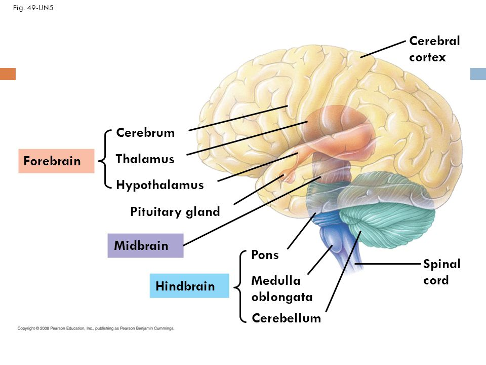 brain thalamus function - photo #40