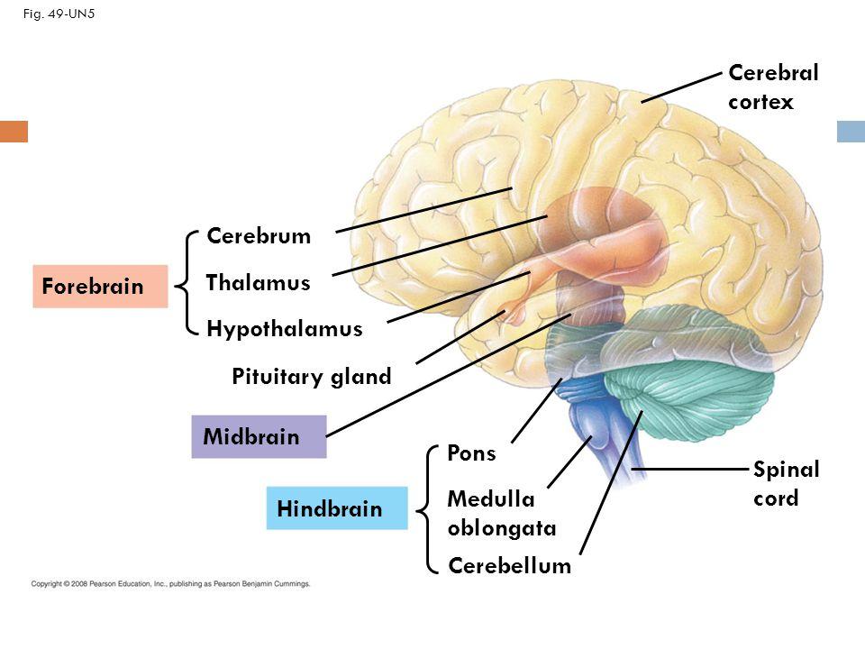 brain thalamus function - photo #40