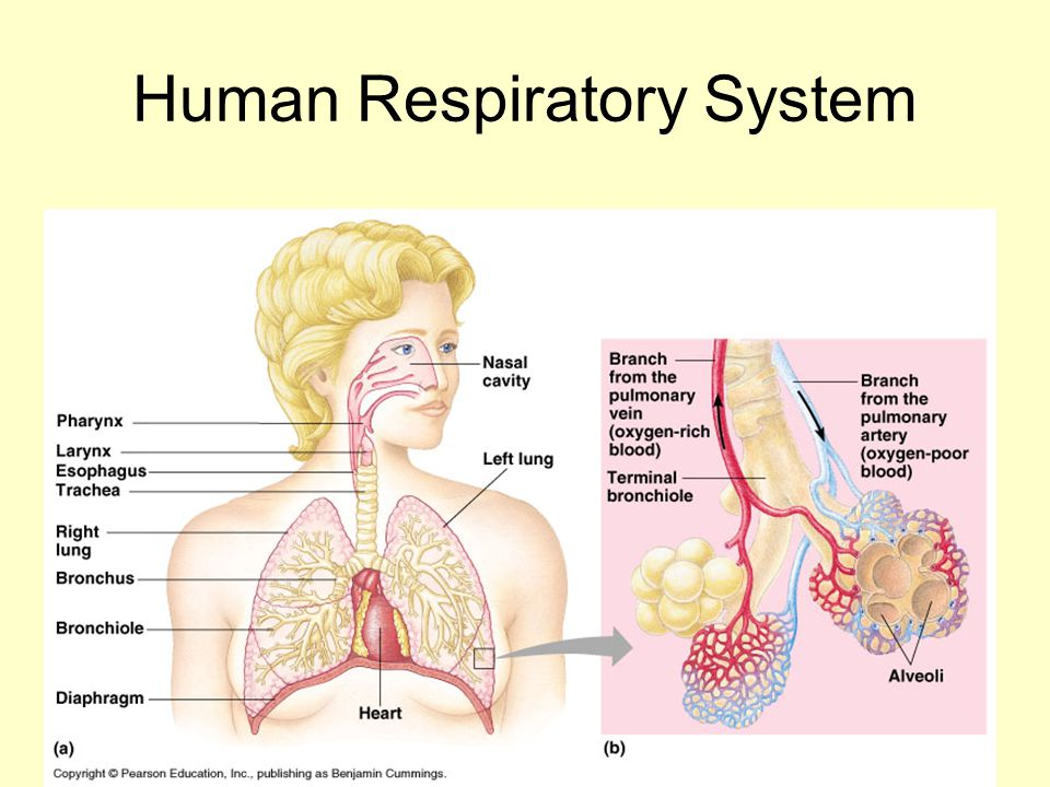 Human Ventilation System : Campbell chapter pages ppt download