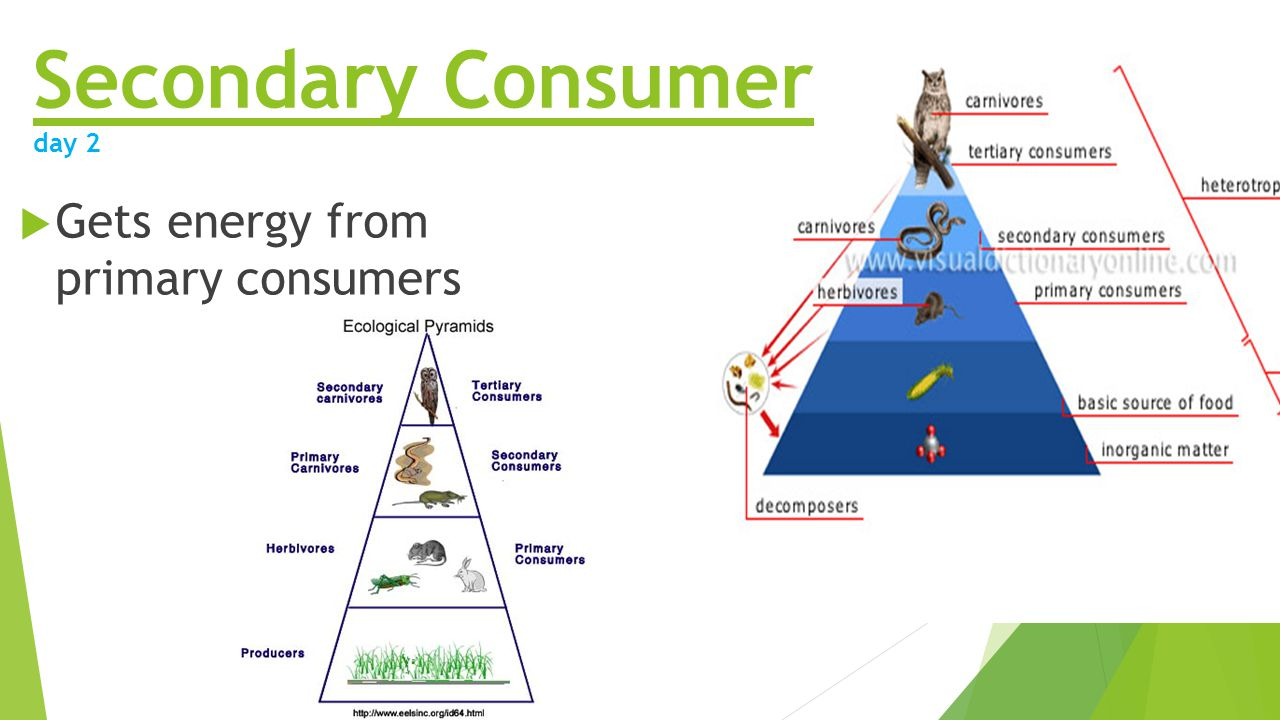 Secondary Consumers Examples Animals on Ecosystem Worksheet 5th Grade