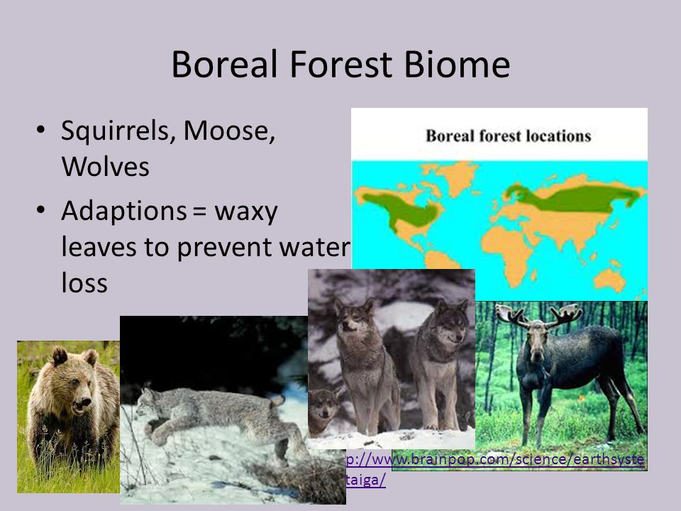 Boreal Forest Biome Squirrels, Moose, Wolves