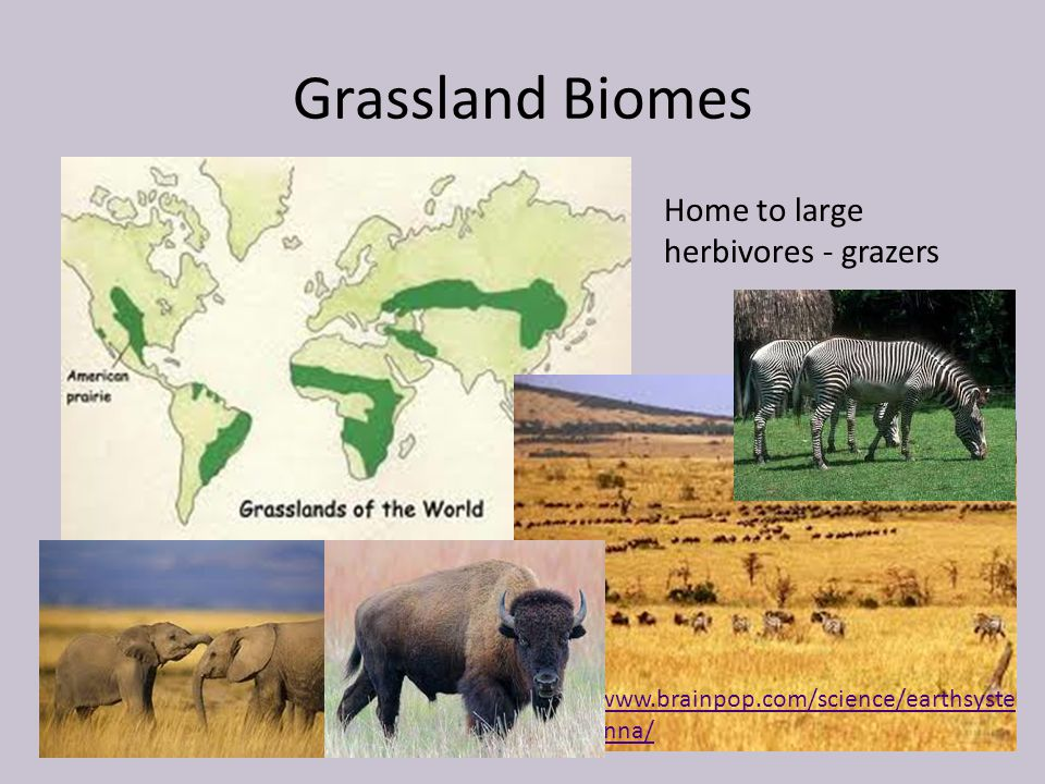 Grassland Biomes Home to large herbivores - grazers