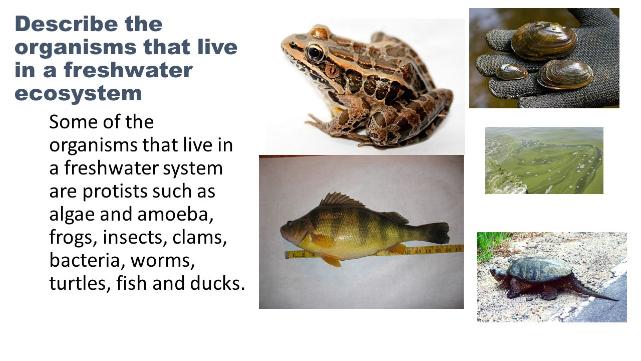 Describe the organisms that live in a freshwater ecosystem