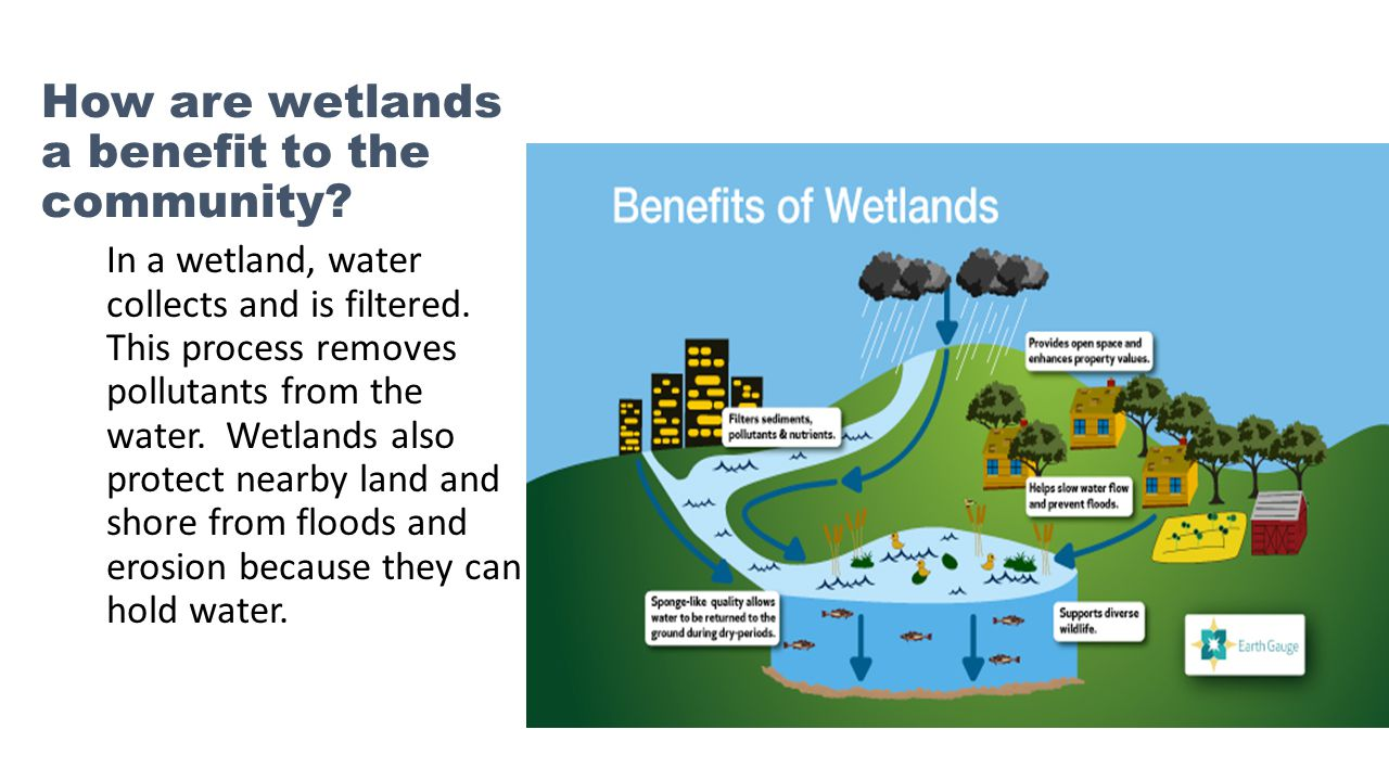 How are wetlands a benefit to the community