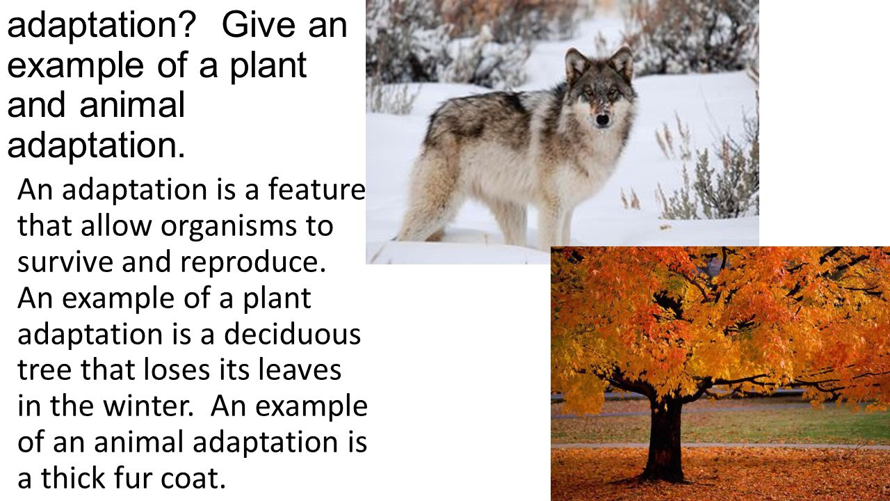 What is an adaptation Give an example of a plant and animal adaptation.