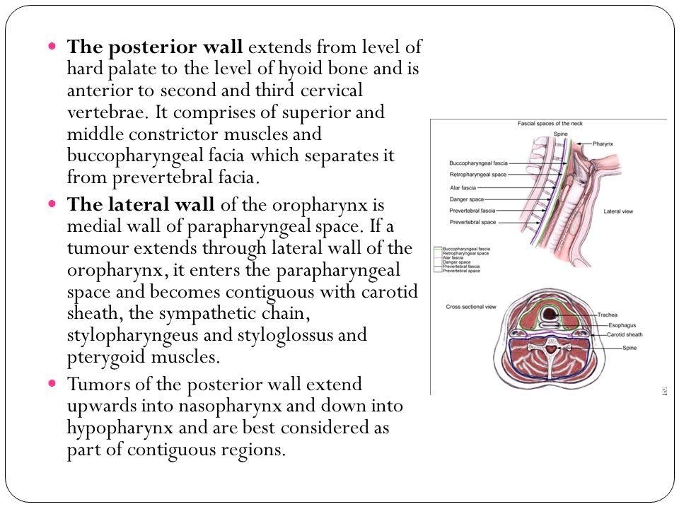 The posterior wall extends from level of hard palate to the level of hyoid bone and is anterior to second and third cervical vertebrae. It comprises of superior and middle constrictor muscles and buccopharyngeal facia which separates it from prevertebral facia.