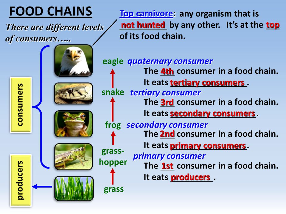 food chains food web ecological pyramids