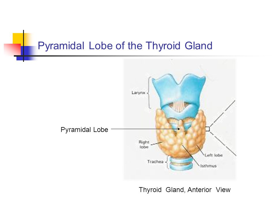 thyroid/parathyroid. - ppt video online download, Human Body