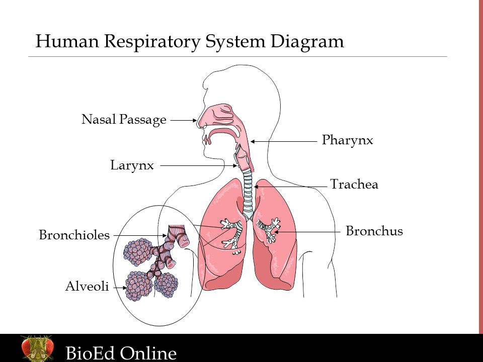 The human organism introduction to human body systems ppt download human respiratory system diagram ccuart Choice Image