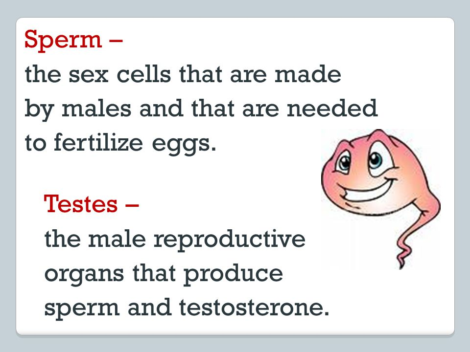 Sperm – the sex cells that are made. by males and that are needed. to fertilize eggs. Testes – the male reproductive.