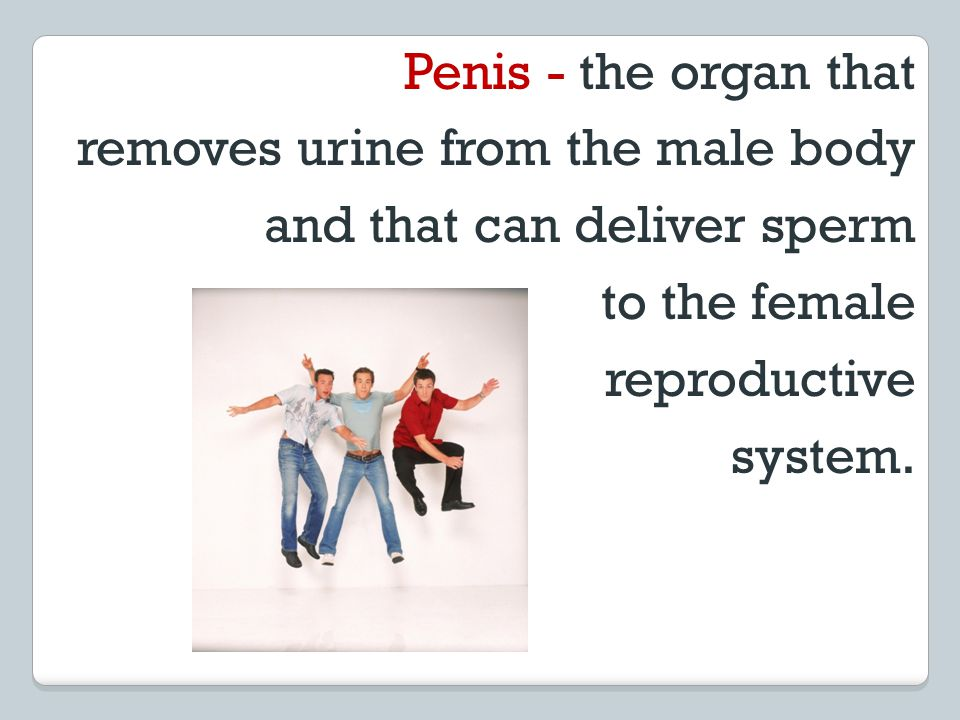Penis - the organ that removes urine from the male body. and that can deliver sperm. to the female.
