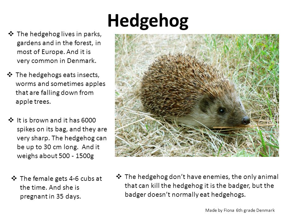 Hedgehog The Hedgehog Lives In Parks Gardens And In The