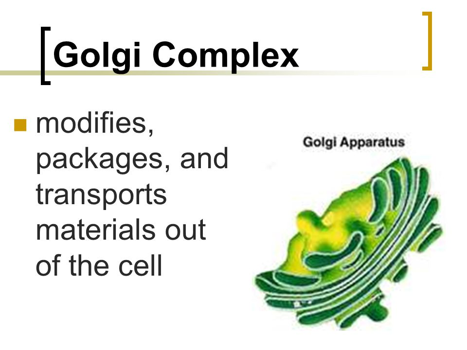 Golgi Complex modifies, packages, and transports materials out of the cell