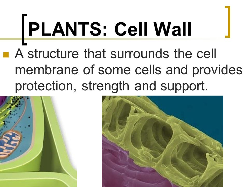PLANTS: Cell Wall A structure that surrounds the cell membrane of some cells and provides protection, strength and support.