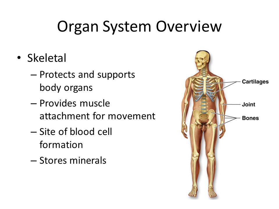 Organ System | tenderness.co