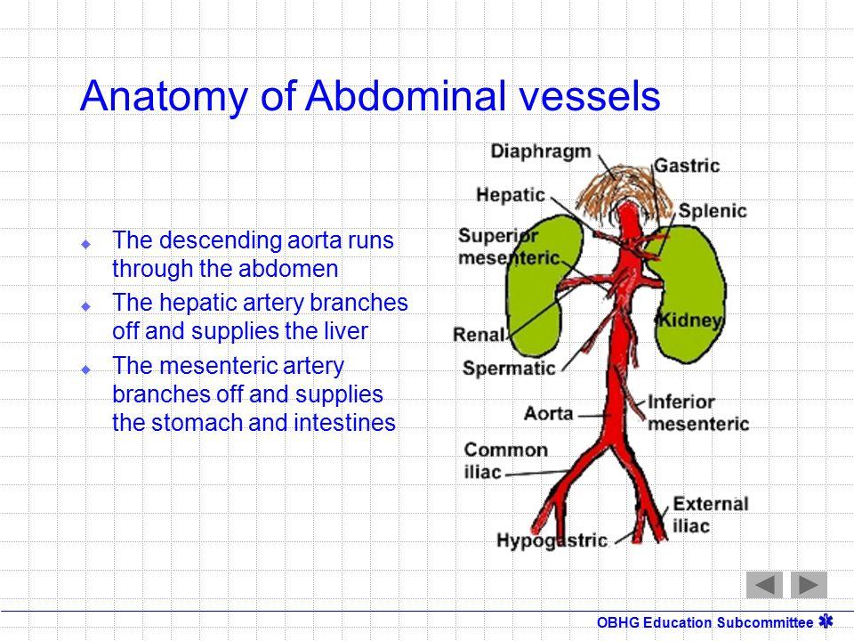 Abdominal vessels anatomy