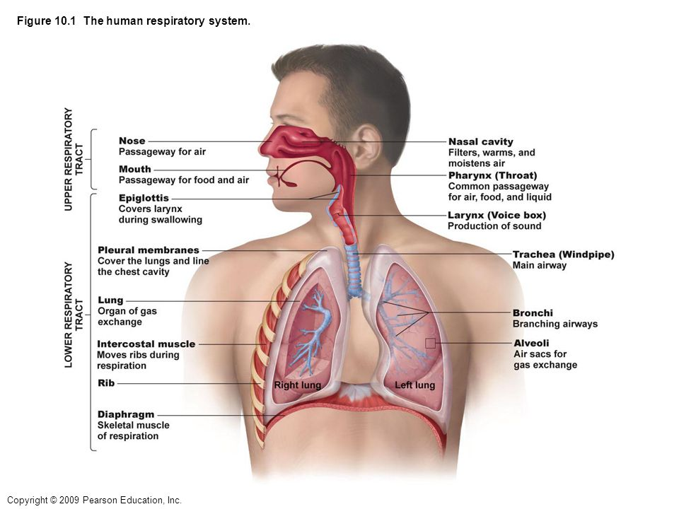 Figure 10.1 The human respiratory system. - ppt video online download