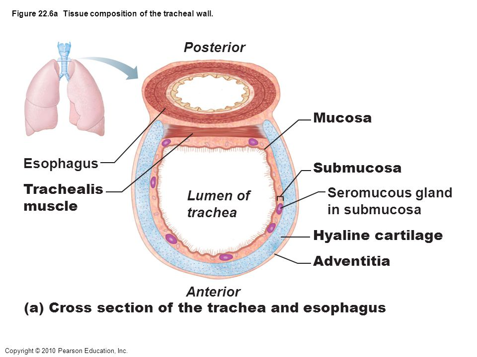 tracheal wall diagram figure 10.1 the human respiratory system. - ppt video ...