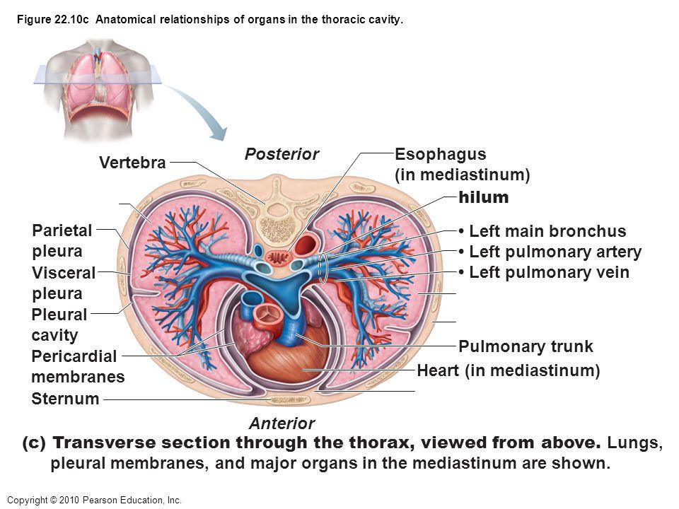 Fancy Parietal Pleura Anatomy Ensign - Human Anatomy Images ...