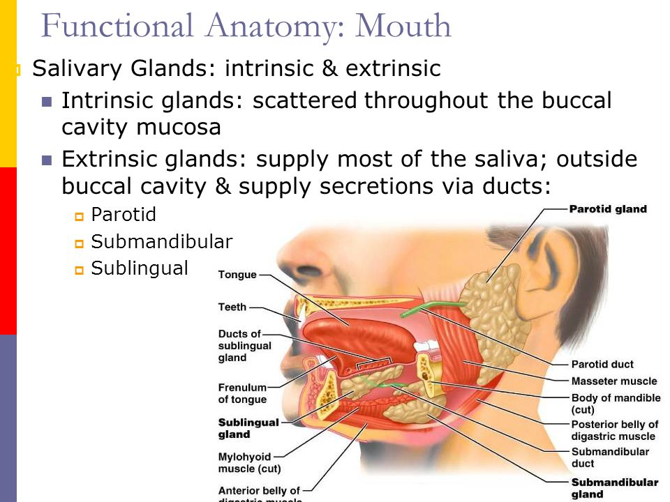 Buccal mucosa anatomy 27341 - follow4more.info