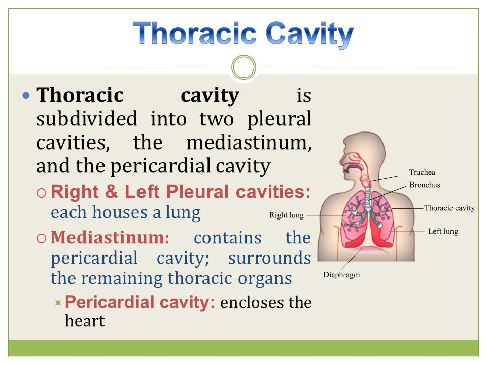 Thoracic Cavity Thoracic cavity is subdivided into two pleural cavities, the mediastinum, and the pericardial cavity.