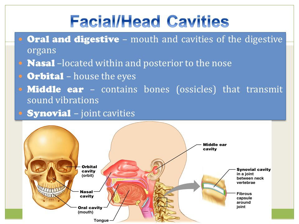 Facial/Head Cavities Oral and digestive – mouth and cavities of the digestive organs. Nasal –located within and posterior to the nose.
