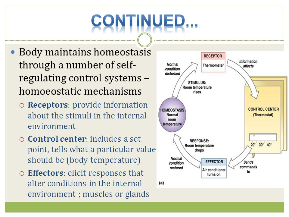 Continued… Body maintains homeostasis through a number of self-regulating control systems – homoeostatic mechanisms.