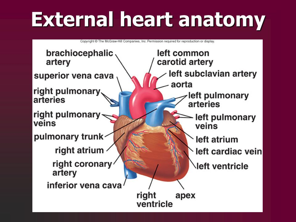 External Heart Anatomy Related Keywords And Tags