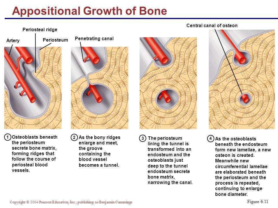 testosterone bone growth